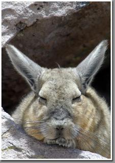 Vizcacha, Las Cuevas, Lauca National Park, Parinacota, Altiplano, Chile