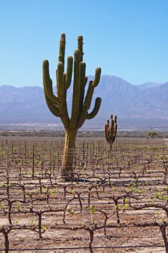 White with tone of cactus - Vineyards in Calchaqui Valley near Cafayate, Argentina